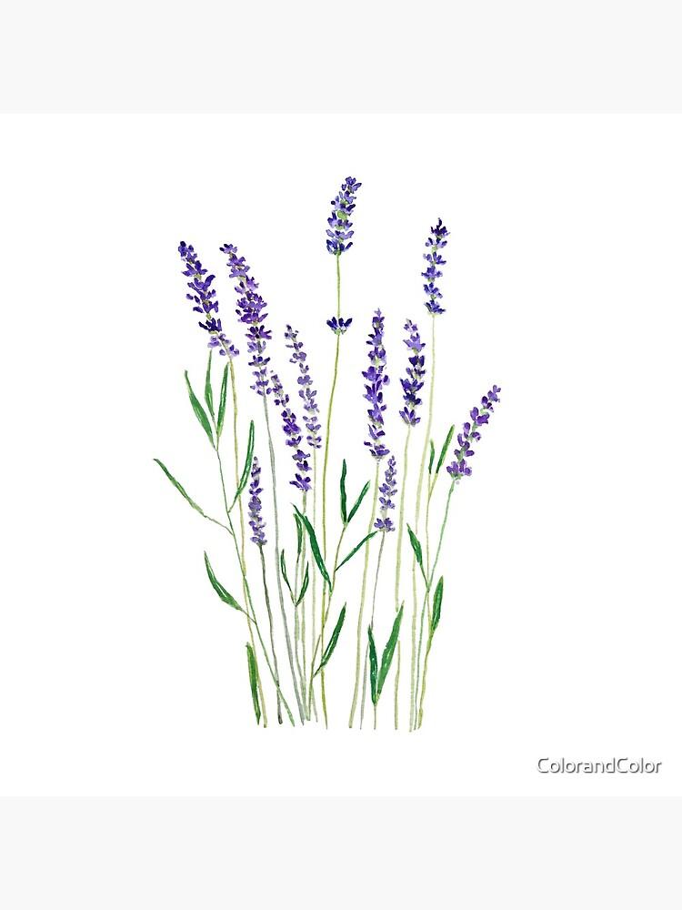 lavanda púrpura de ColorandColor