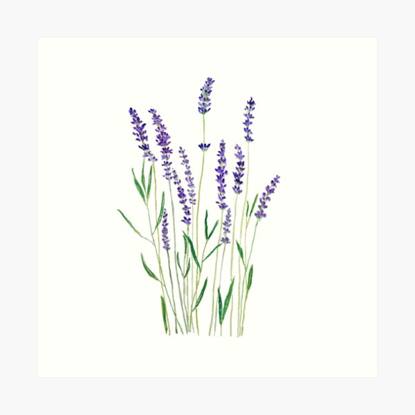 purple lavender  Art Print