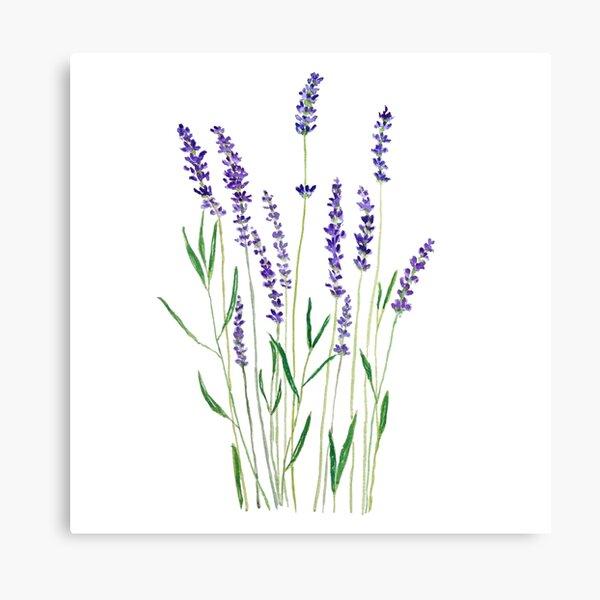 purple lavender  Canvas Print