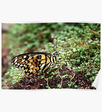 Common Lime Butterfly - Papilio demoleus Poster