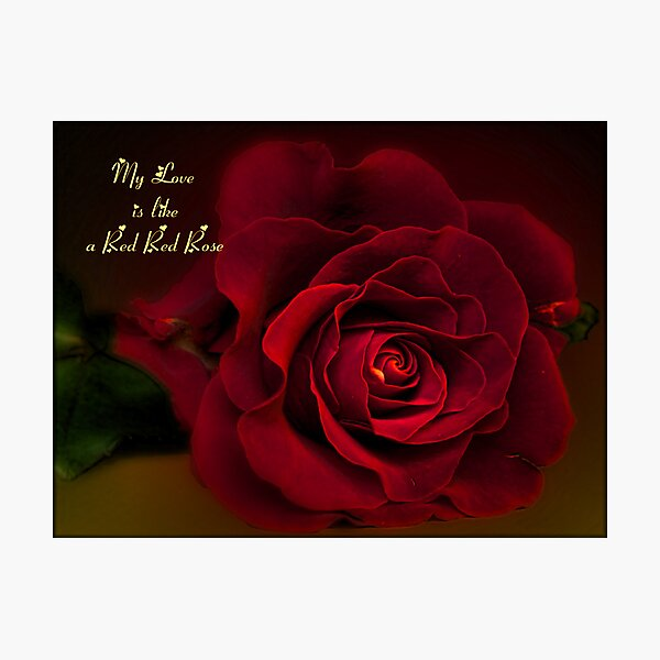 My Love is Like a Red Red Rose Photographic Print