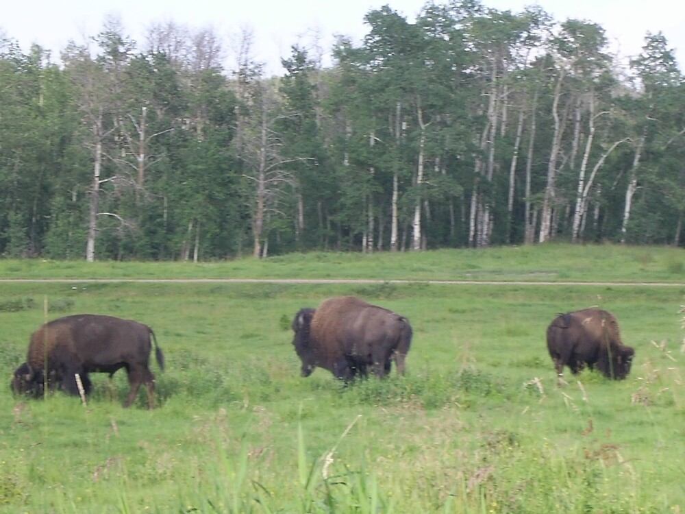 Bison Grazing 2, Elk Lake, Alberta, Canada by sbrosszell