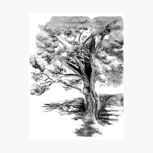 Old Maple Tree Photographic Print