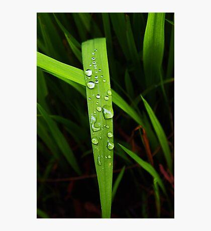 raindrops on grassblade Photographic Print