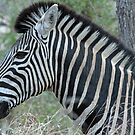 Zebra up close in profile by Anthony Goldman
