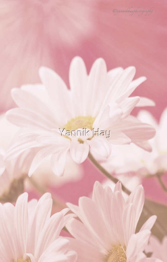 Daisies for Summer iPhone Case by Yannik Hay