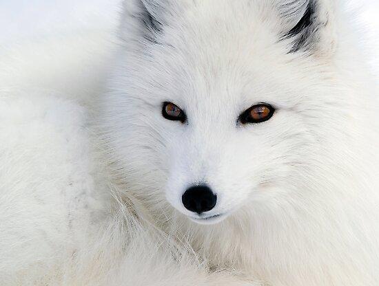 Arctic Fox by Alain Turgeon
