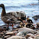 Mama & Ducklings by Diane Blastorah
