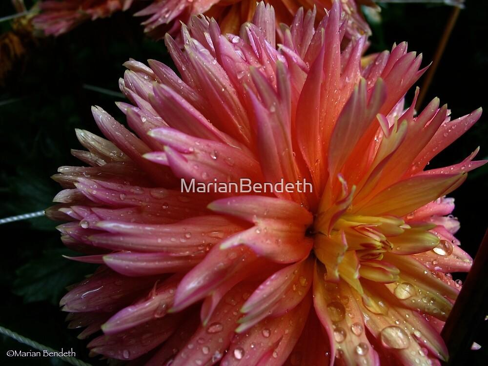 Dahlia in the rain by MarianBendeth
