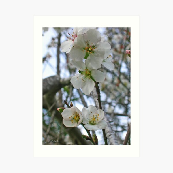 Blossoming of Almond Art Print