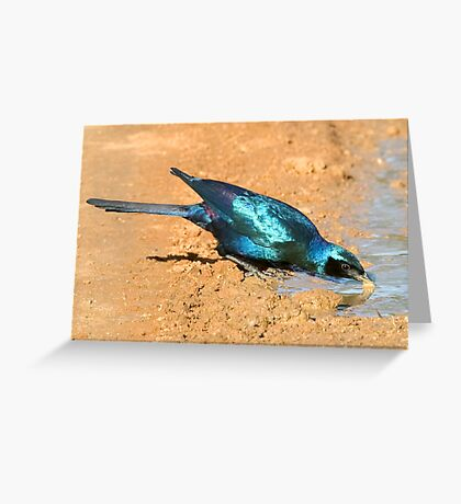 Burchell's Starling Greeting Card