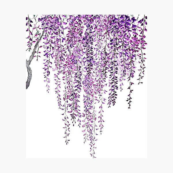 purple wisteria  in bloom  Photographic Print
