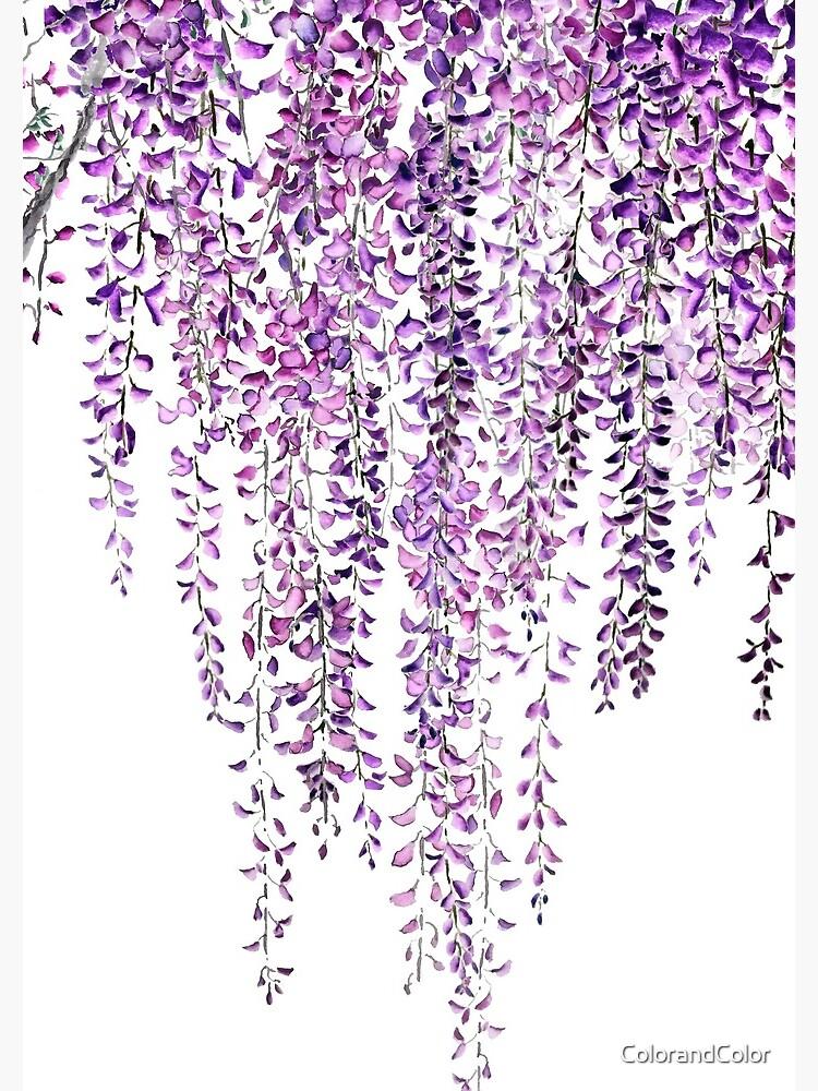 purple wisteria  in bloom  by ColorandColor