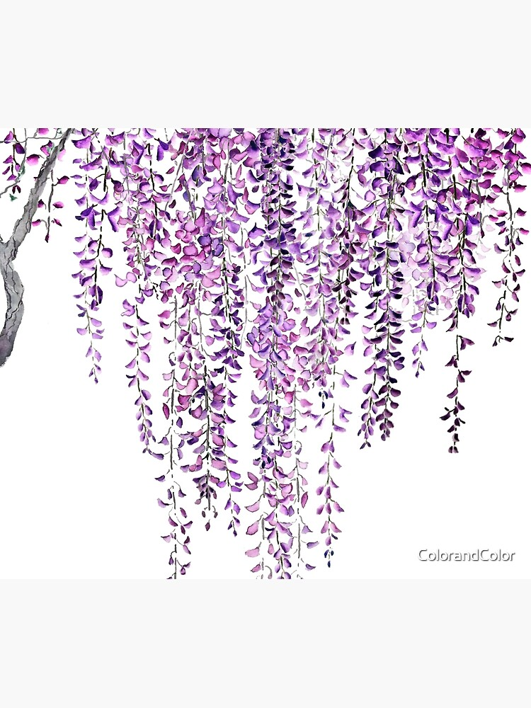 purple wisteria  in bloom  by ColorandColor