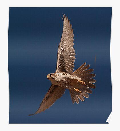 012211 Prairie Falcon Poster