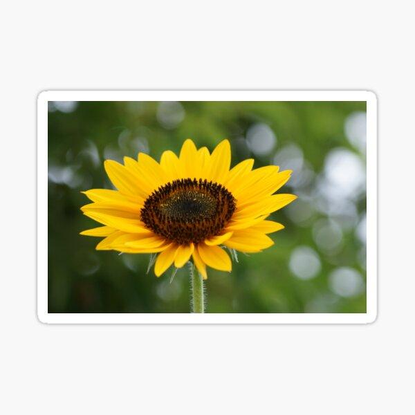 Soaking it up! Sunflower in perfect bloom, La Mirada, CA USA Sticker
