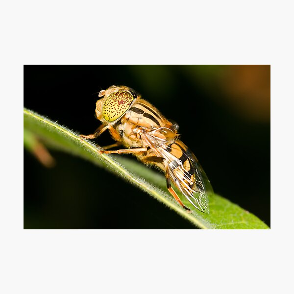 Native Drone Fly Photographic Print
