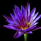 Blue Water Lily by Endre