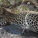 Leopard on the koppie by jozi1