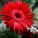 Red Gerbera I by mojo1160