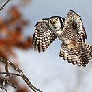 Float Like A Butterfly  Sting Like A Hawk / Northern Hawk Owl by Gary Fairhead