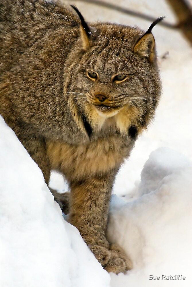 Lynx by Sue Ratcliffe