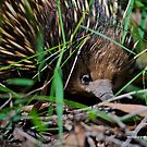 Echidna by dazzleng