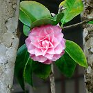 Pink Camellia by Svetlana Day