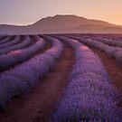 Bridestowe Lavender Estate, Tasmania by Paul Fleming