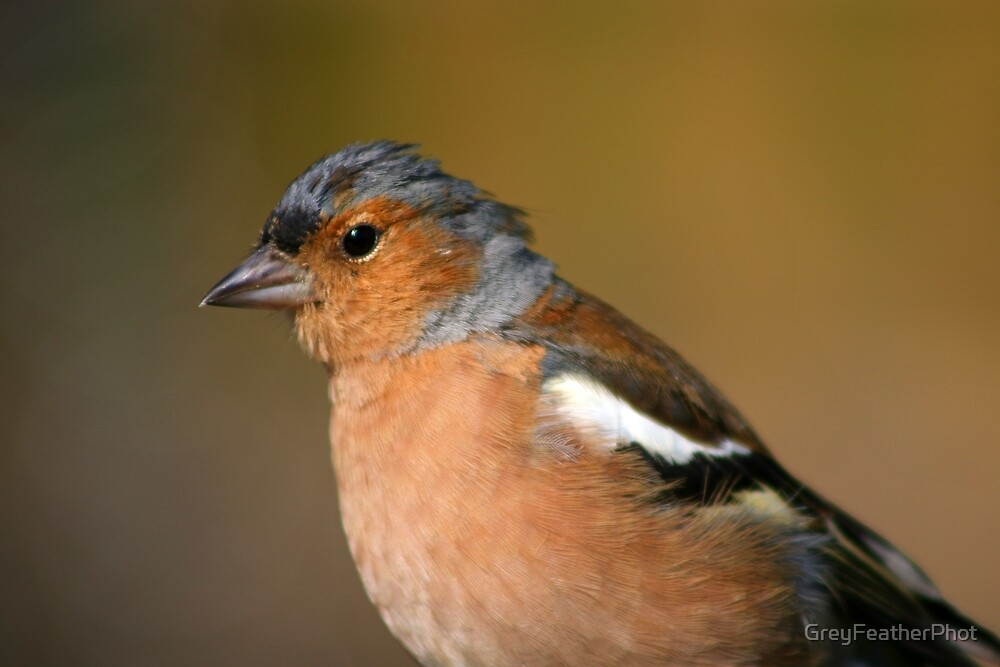 Chaffinch up close by GreyFeatherPhot