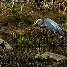 Can't I Eat in Peace!  (Great Blue Heron) by Robert Miesner