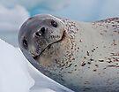 Smile!  You've just seen lunch! (Leopard Seal, Pleneau Island, Antarctica) by Krys Bailey