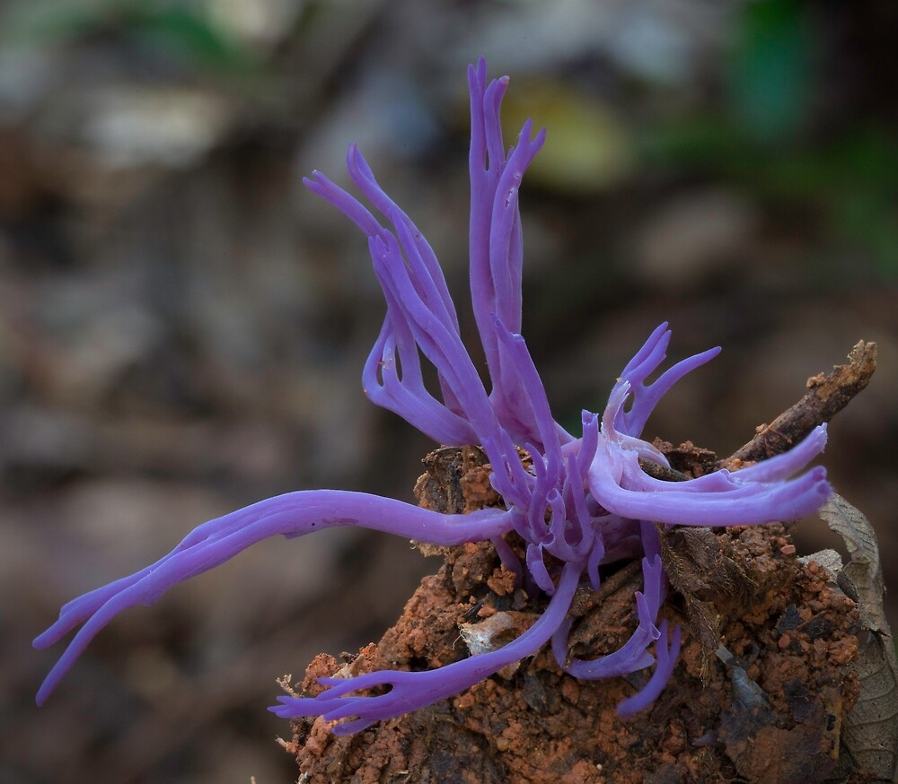 Clavaria zollingeri by Steve Axford