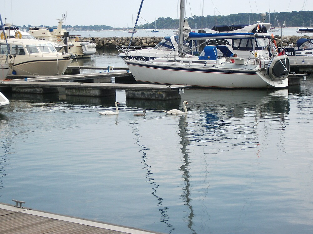 Swans enjoying Poole Harbour! by kirstea1990