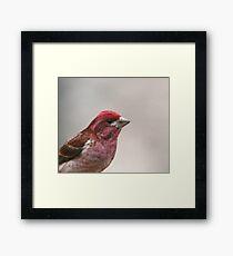 Purple Finch  Framed Print