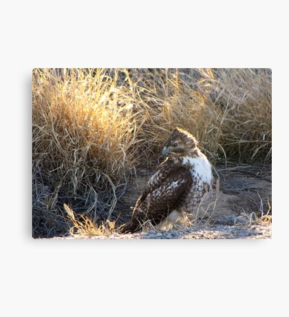 Red-Tailed Hawk - Morning Light Canvas Print