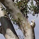 White Cockatoo, Nesting, Eucalyptus Tree, Australia. by johnrf