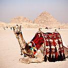 Tourist attraction - Camel at Giza pyramids, Cairo by NicoleBPhotos