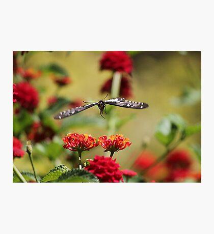 Black Beauty In Flight Photographic Print