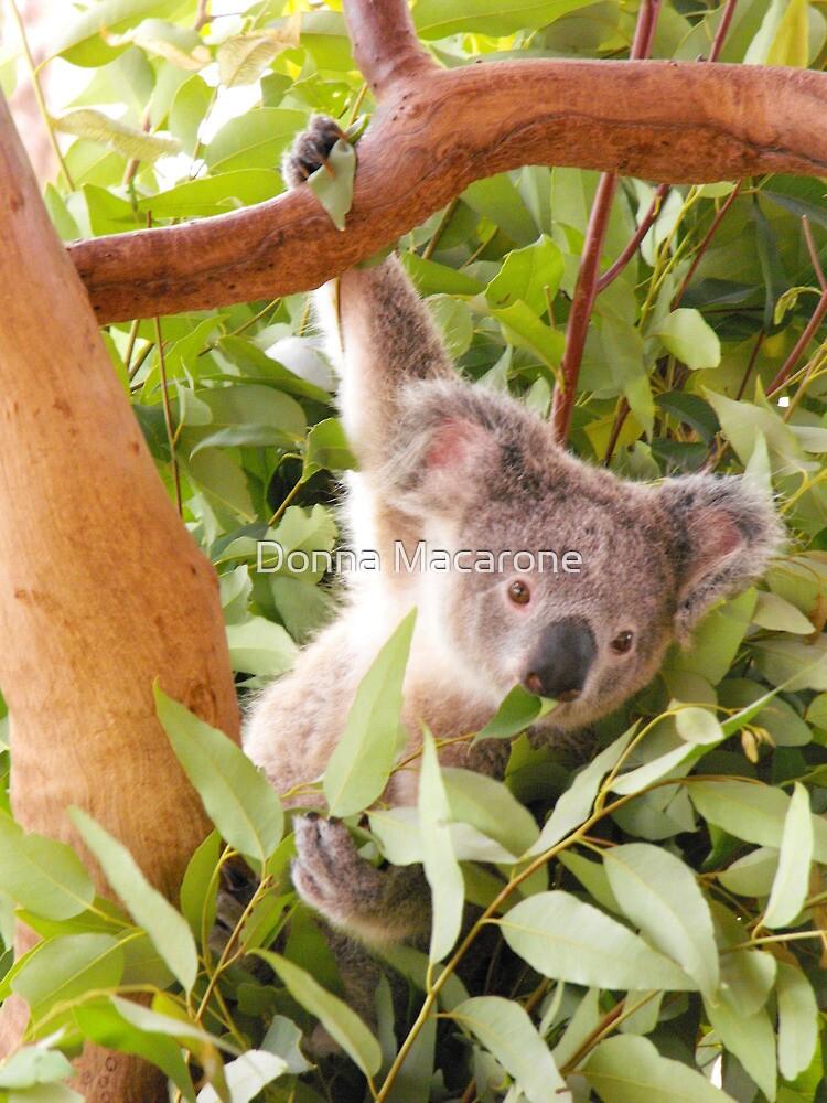 Koala by Donna Macarone