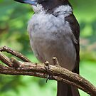 Grey Butcher Bird by Gary  Davey (Jordy)