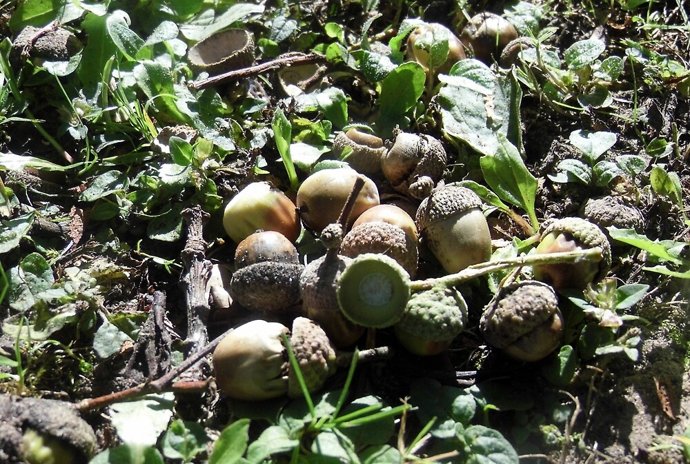 A few Acorns in their fairy cups by margaret hanks