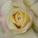 Rose in Rain 005 by Daniel H Chui