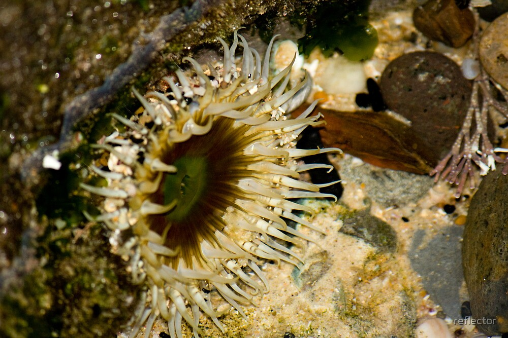 On The Rocks Series - Sea Anemone by reflector