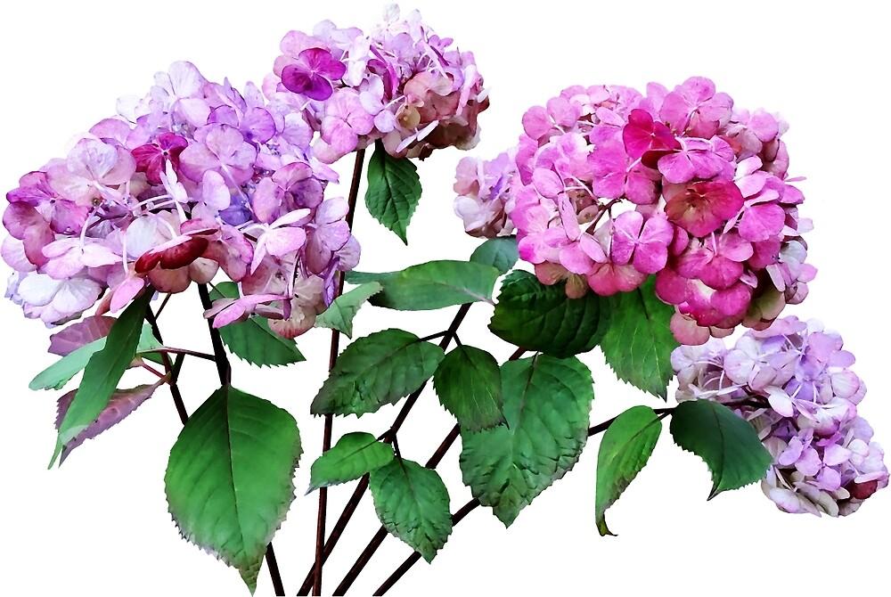 Lavender and Rose Hydrangeas by Susan Savad