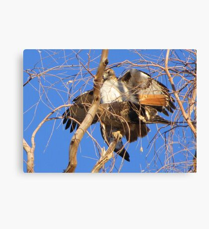Red-tailed Hawks ~ Paired and Procreating....... Canvas Print