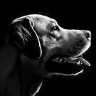 labrador by Dan Shalloe