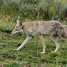 A very wiley coyote! by James Anderson