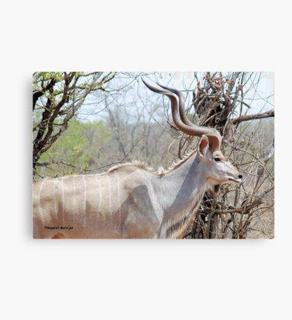 THE KUDU - Tragelaphus strepsiceros Canvas Print
