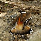 Look My Wing is Broken, Follow Me (Killdeer) by Robert Miesner